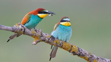 Bee Eaters Photo Tour